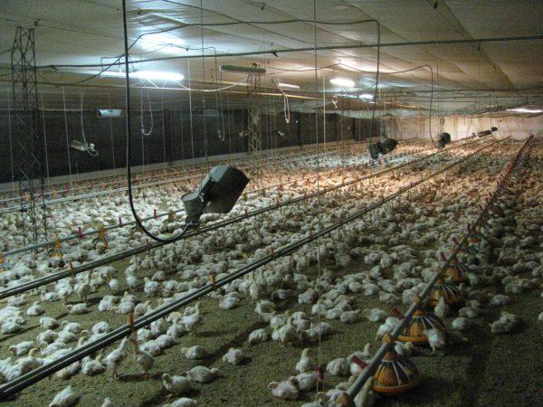 Iluminación a leds criaderos de aves Solutronic - Desarrollos especiales